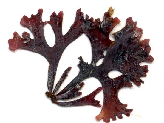 Chondrus crispus